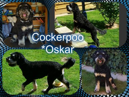 cockerpoo-oskar.jpg